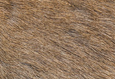 Brow-Antlered Deer skin texture. Stock Images