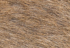 Brow-Antlered Deer skin texture. Royalty Free Stock Image