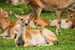 Brow-antlered Deer in zoo Royalty Free Stock Photo