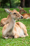Brow-antlered Deer in zoo Royalty Free Stock Images