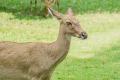 Brow-Antlered herten royalty-vrije stock foto