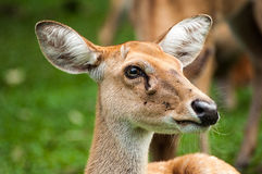 Brow-Antlered Herten in dierentuin Royalty-vrije Stock Foto's