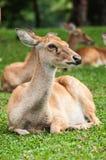 Brow-Antlered Herten in dierentuin Royalty-vrije Stock Afbeeldingen
