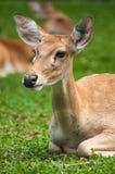 Brow-Antlered Herten in dierentuin Stock Foto's