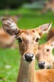 Brow-Antlered Herten in dierentuin Royalty-vrije Stock Foto