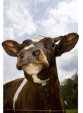 Brow cow Stock Photography