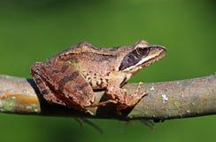 Brow Frog Royalty Free Stock Photos