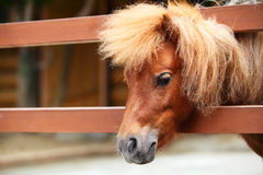 Brow miniature horse Royalty Free Stock Images