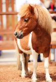Brow miniature horse royalty free stock photos