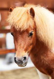 Brow miniature horse. Closeup Royalty Free Stock Photo