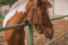 Brow miniature horse. Outdoors Royalty Free Stock Photos