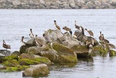 Brow Pelican Royalty Free Stock Photo