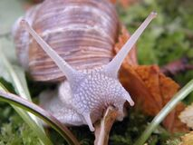 Brow and Purple Snail on Green Grass Royalty Free Stock Images