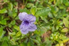 Browallia blomma fotografering för bildbyråer