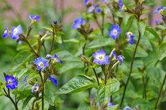 Browallia grandiflor一朵蓝色野花 库存照片