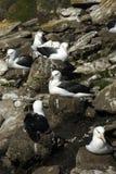 browed альбатроса черное Стоковые Фото