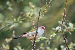 browed finch κόκκινο στοκ εικόνα