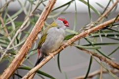 browed finch κόκκινο στοκ φωτογραφίες με δικαίωμα ελεύθερης χρήσης