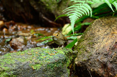 browed flycatcher ficedula καστανοκοκκινωπά solitaris στοκ εικόνες με δικαίωμα ελεύθερης χρήσης
