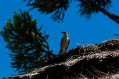 Browed mockingbird κιμωλίας που κοιτάζει γύρω στοκ εικόνα