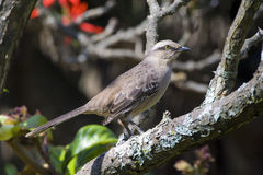 Browed mockingbird Obraz Stock