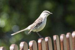 Browed mockingbird Obrazy Stock