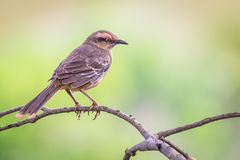 Browed Mockingbird - Mimus saturninus Fotografia Royalty Free