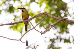 Browed Motmot Obraz Royalty Free