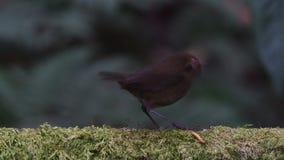 Browed Shortwing żeński ptak w Azja Południowo-Wschodnia zbiory wideo