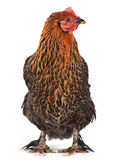 Browh chiken Stock Photo