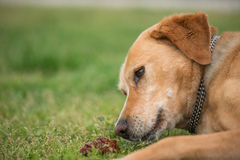 Brown dog playing with cone. Brown old dog on green, playing with tree cone and looking sad Royalty Free Stock Photos