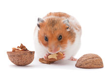 Browh hamster eating walnut Royalty Free Stock Photography