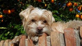 Browm狗 免版税库存图片
