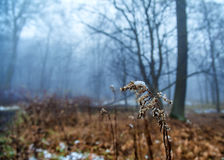 Browm blade of grass covered with snow Royalty Free Stock Photography