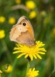 Brown łąkowy motyl (Maniola jurtina) zdjęcia royalty free