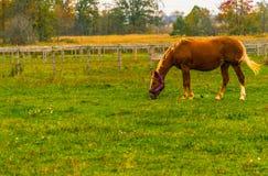 Brown łasowania końska trawa, pasa w zielonym polu w jesieni fotografia stock
