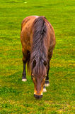Brown łasowania wiejska końska trawa na łące Zdjęcia Royalty Free