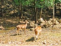 Brown źrebięcia ogoniasta jelenia pozycja w łące zdjęcie stock