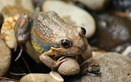 Brown żaba obrazy royalty free