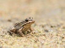 Brown żaba w suszący w górę stawu Obraz Stock