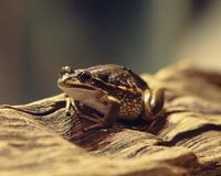 Brown żaby pięcie na drzewnej barkentynie patrzeje coś zdjęcie royalty free