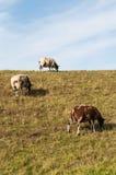Brown и белые овцы пася на dike. Стоковые Изображения RF