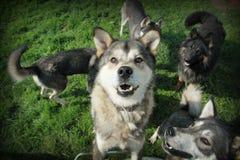 Brown осиплый и другие собаки Стоковое фото RF