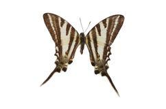 brown 15 motyl Fotografia Royalty Free