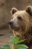 Медведь Brown Стоковые Изображения