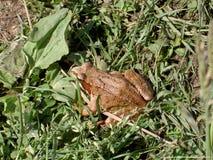 Brown żaba Zdjęcie Stock