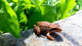 Brown żaba Obraz Royalty Free