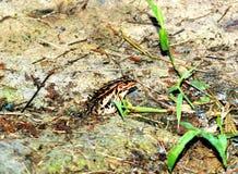 Brown żaby obsiadanie na skale Zdjęcie Royalty Free