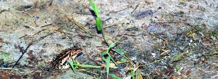 Brown żaby obsiadanie na skale Obraz Royalty Free