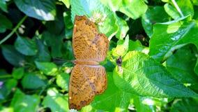 Brown acena a borboleta Imagens de Stock
